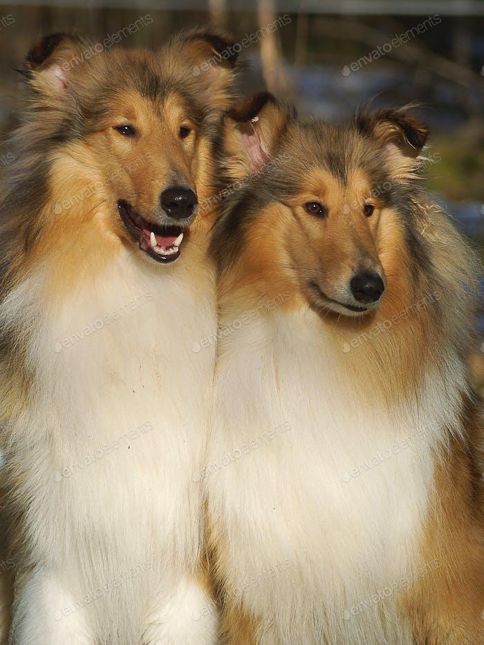 Zwei grobe Collies