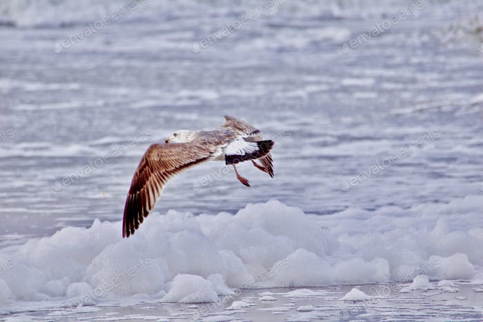Flying seagull foraging for food in the Winter sea foam that looks like snow on the beaches in