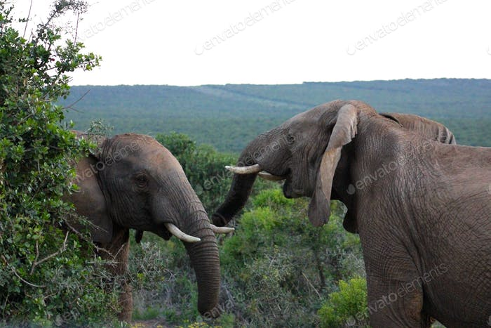 Elephant bulls fighting in the wild