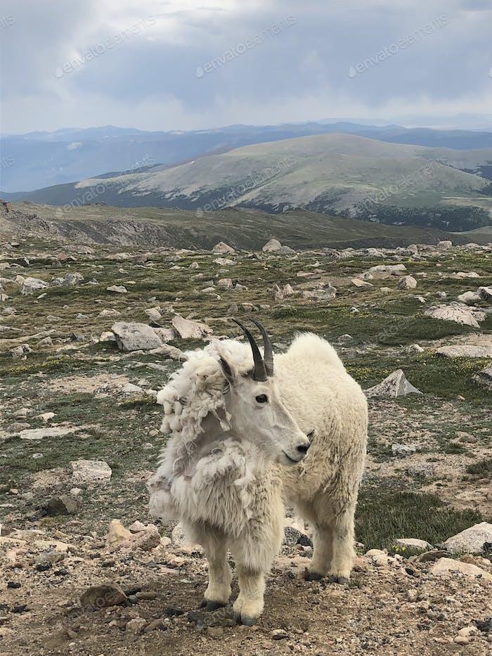 Furry mountain goat on mount Evans