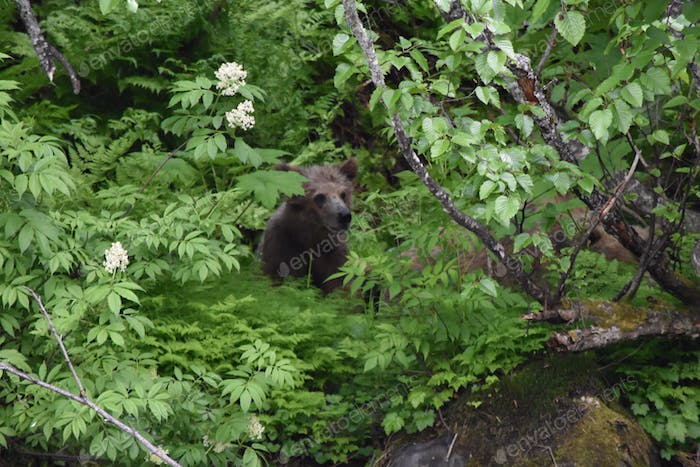 Baby grizzly bear cub hiding in the woods