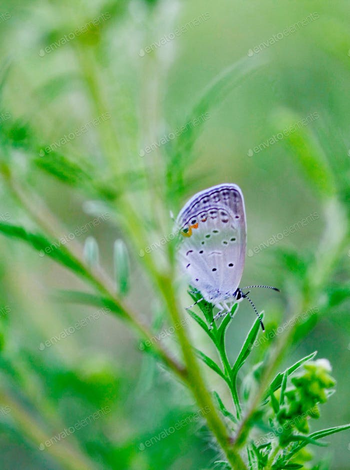 (nominated) Nature - Closeup of a male Eastern-Tailed Blue butterfly in a meadow