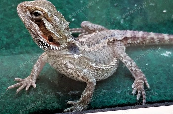 Bearded Dragon for sale at a Retail Pet Store! A beautiful specimen of a cold blooded lizard!