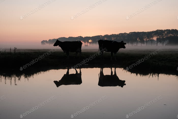 Reflections of two cows in the water on a misty morning in Edam, Holland