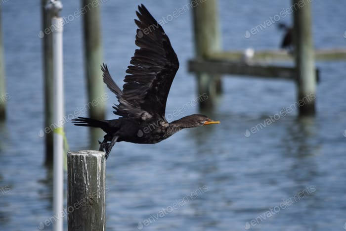 Double-crested Cormorant taking flight off dock at the marina in Northern Neck area of the
