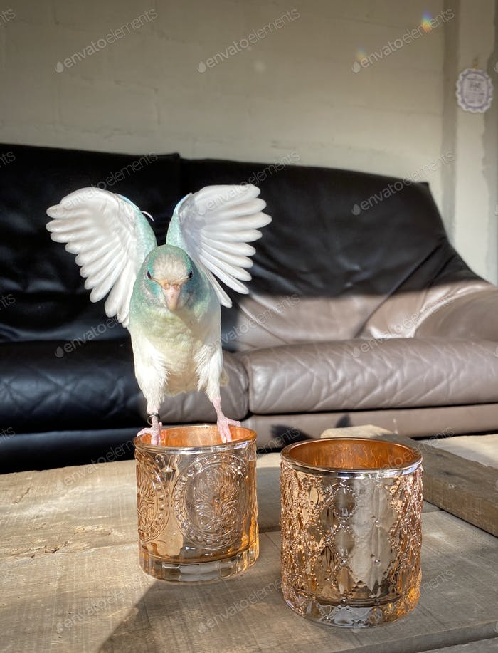 Blue parrot with spread wings landing on a candleholder