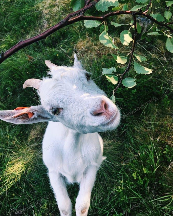 Goat eating leaves