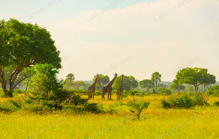Giraffen im Safaripark