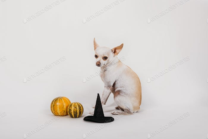Halloween costume for pet. Cute Halloween dog Toy Terrier in witch  hat and with pumpkins
