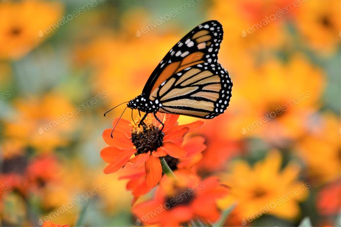 Monarch butterfly! Nominated