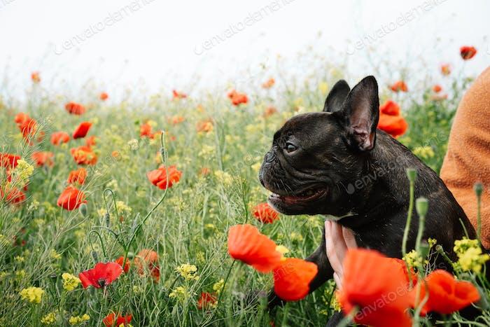 French bulldog in poppy field