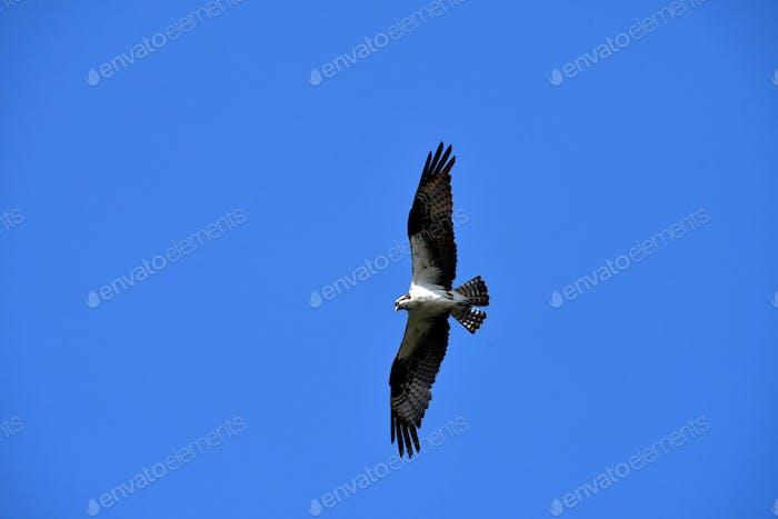 An Osprey bird of prey soaring above in a beautiful blue sky