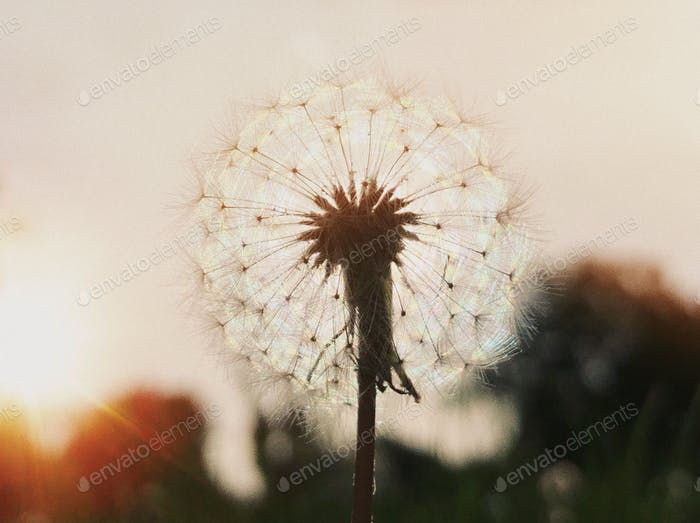 Fragility of a dandelion...
