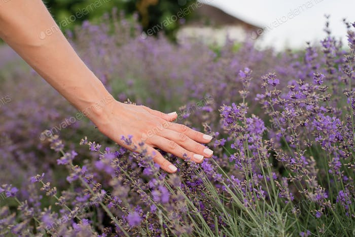 Nature. Woman hand touching lavender flowers on lavender field