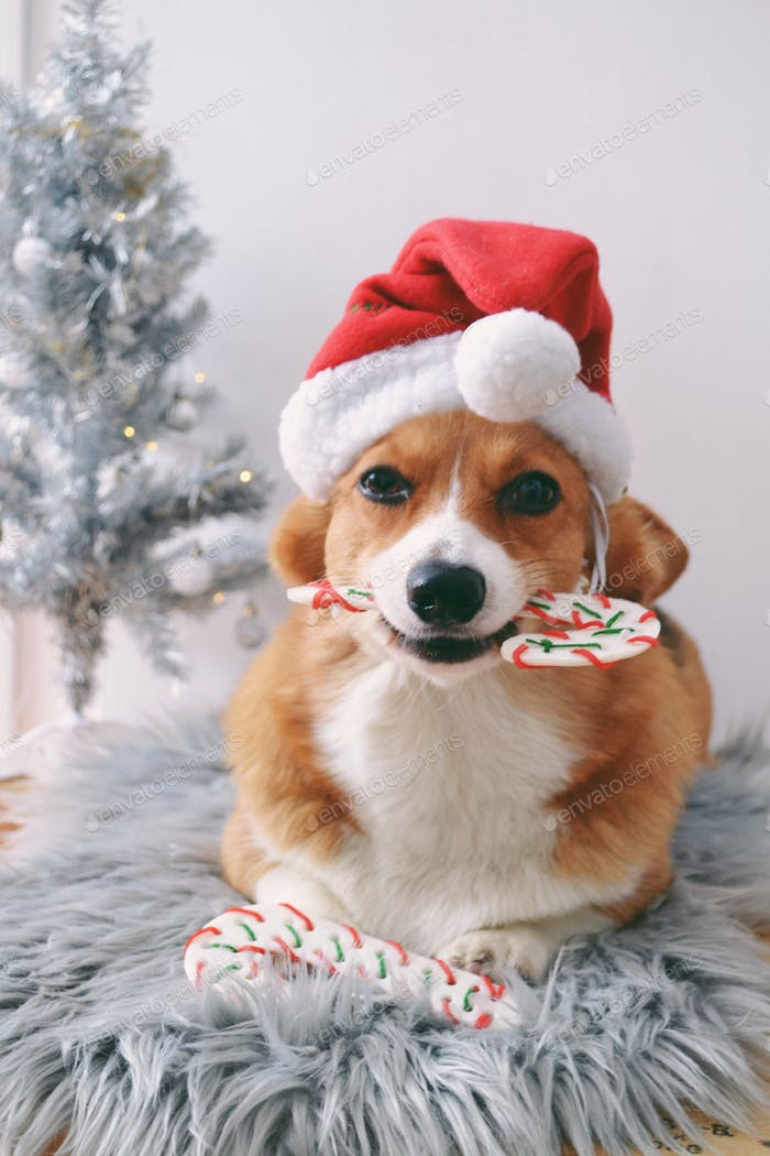 Dog in santa hat holding a candy cane bone  nominated