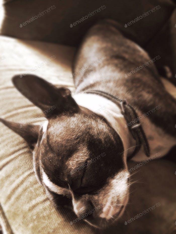 Bella the Boston Terrier