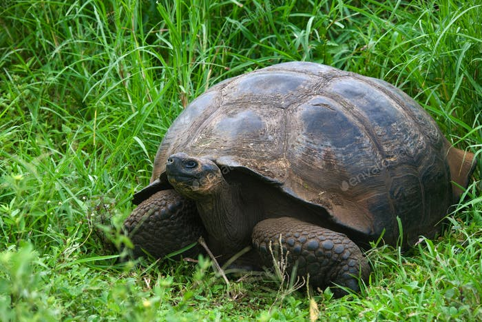 An endangered Galapagos Giant Tortoise (Geochelone elephantopus ssp