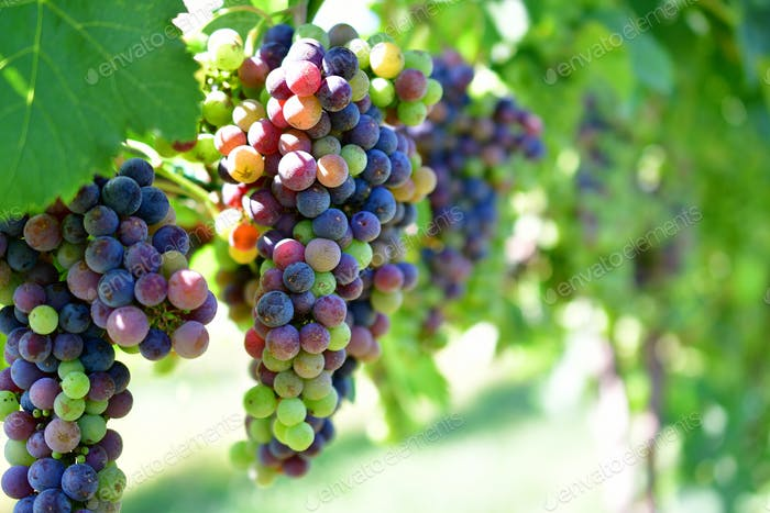 Clusters of luscious Merlot grapes at the point of veraison ripening in the summer sunlight