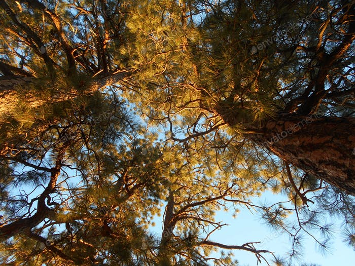 Autumn Light! The beginning sunset causes a brilliant shine on the pine trees