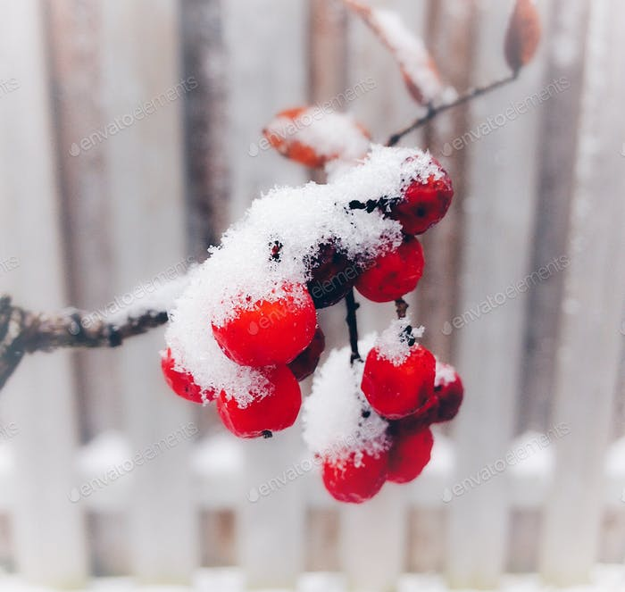 Snow on red berries. 💲