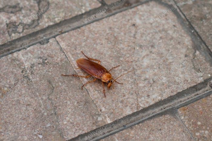 Riesige rote Kakerlake auf einer asphaltierten Straße.