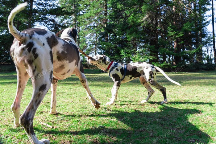 Adult and puppy harlequin great dane dogs playing tug of war with a stick.