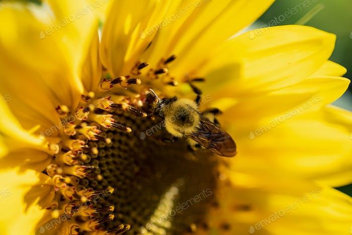Bumblebee auf Sonnenblume