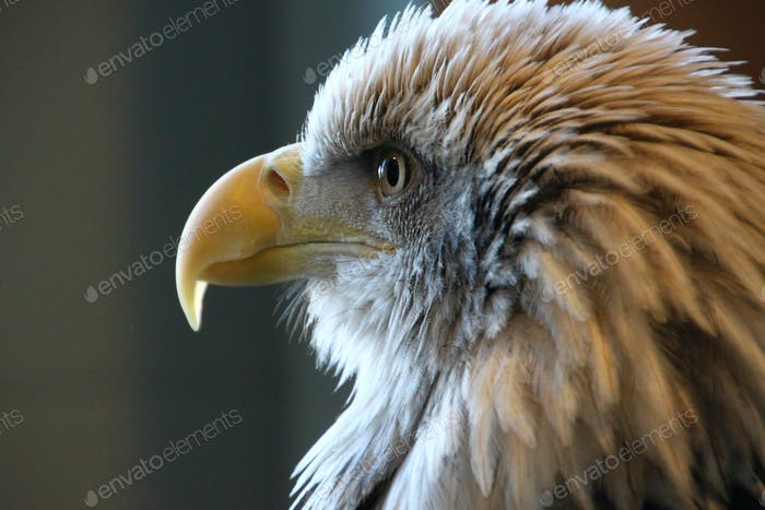 Closeup profile headshot of bald eagle staring intently with yellow hooked beak.