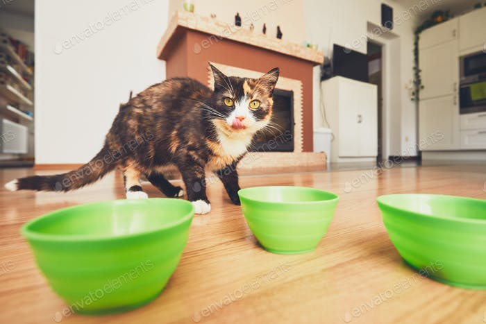 Domestic life with pets. The hungry cat goes to his bowl of food.