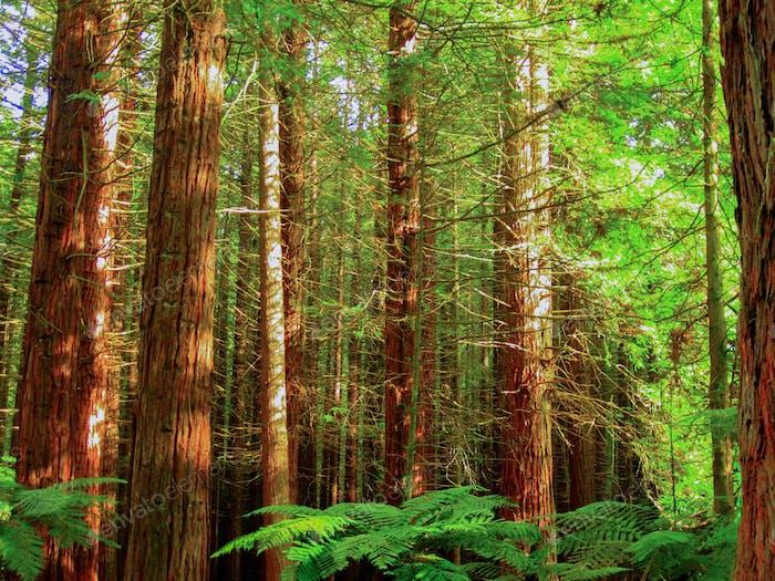 Redwood-Wald