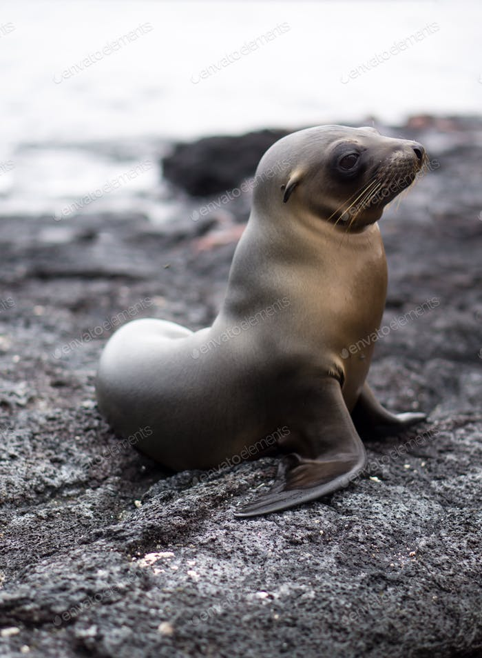 Young Galápagos sea lion pup posing on lava rock in the Galápagos Islands