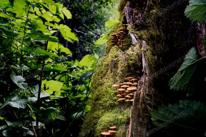Wild mushroom colony growing in a Pacific Northwest rainforest. RLTheis