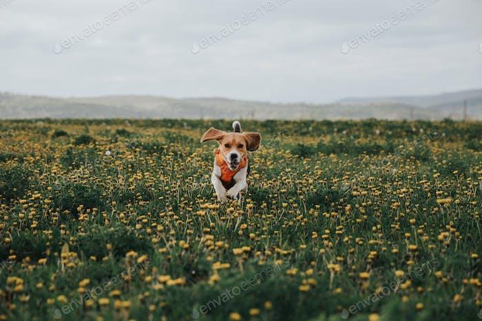 The beagle dog an the flowers