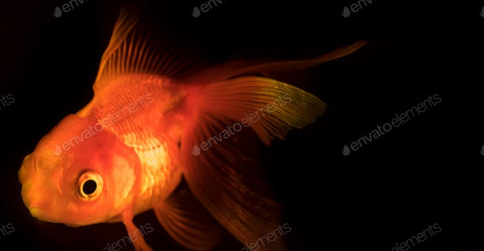 Single adult goldfish with fins swimming in aquarium isolated on black background
