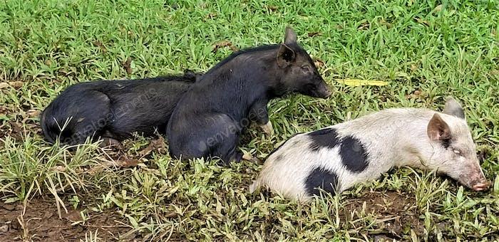 Wild Animals! Feral Hogs!