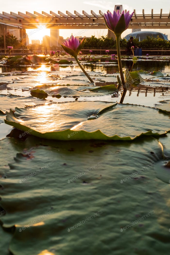 Sunset view from the water lily pond at ArtScience Museum