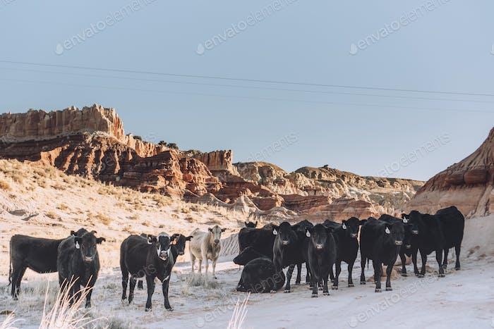 Weidende Rinder