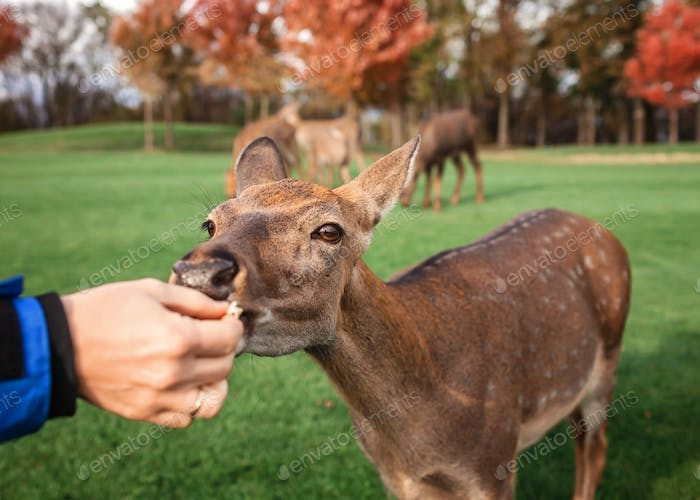 Man stroking and feeding young deer in the park, family autumn weekend