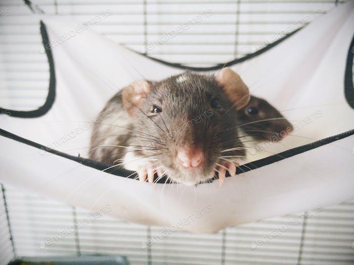 Rat hanging around