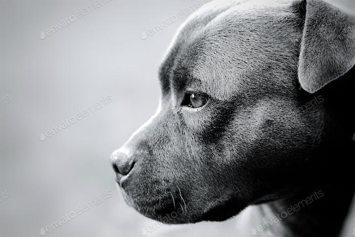 Beautiful blue Staffordshire Bull Terrier.
