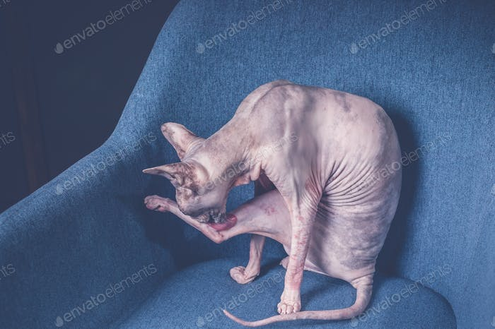 Sphynx cat on a blue armchair. purebred,