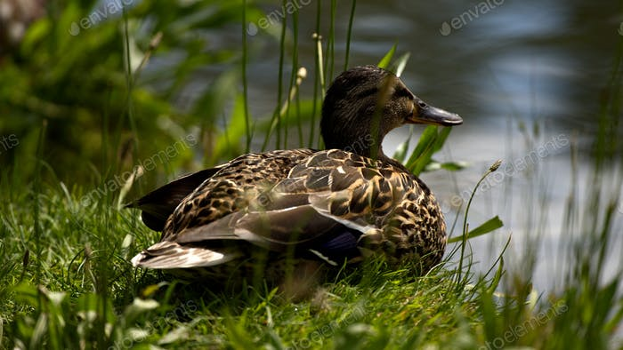 Duck lounging on grass