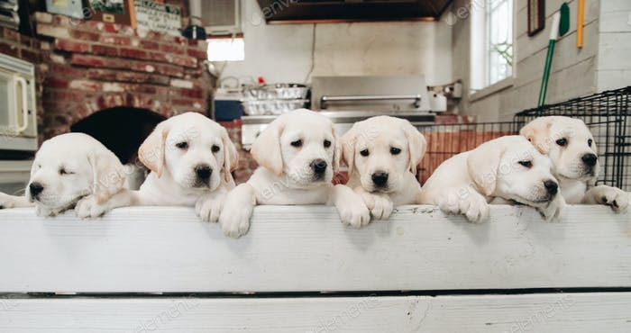 Litter of yellow lab puppies looking over a bench.