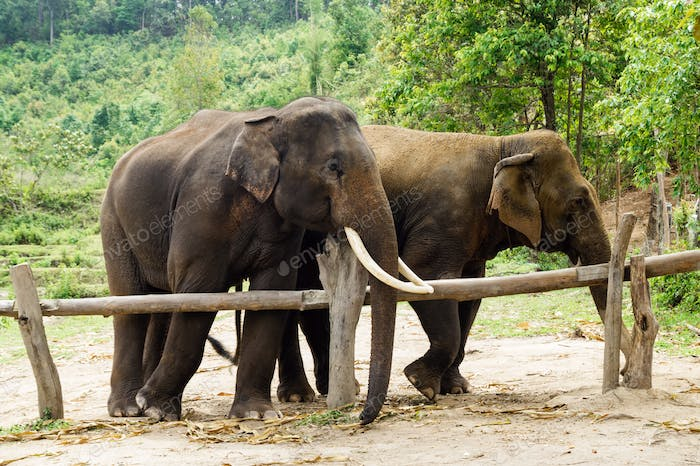 Group of adult elephants in Elephant Care Sanctuary, Chiang Mai province, Thailand.