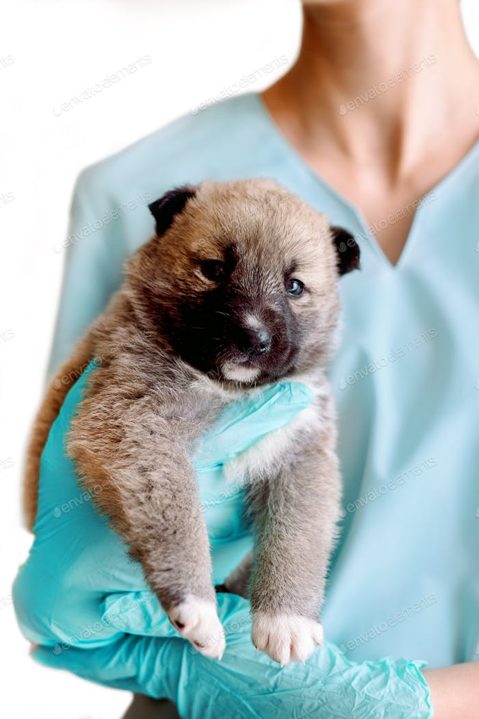 A mongrel puppy, like a bear cub, examining a pet in the vet. clinic, a veterinary doctor