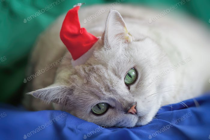 ☀ NOMINATED!!! ☀ Big silver British cat in red Christmas hat tired of the bustling New Year holidays