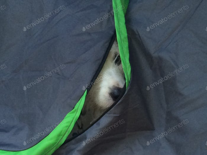 Scraps dog hiding in the tent.