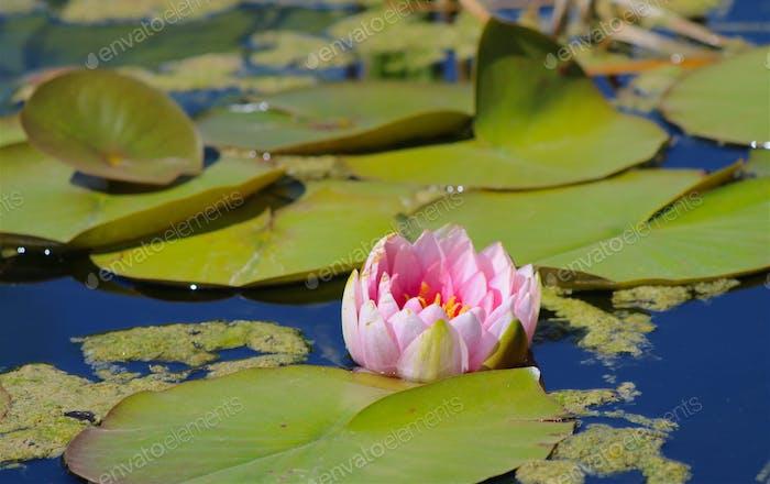Bild von schönen rosa Lotus schwimmt in Meditation Teich in der Nähe von Lilie Pads