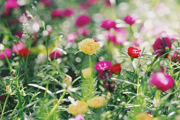 Beautiful and colorful flowers background. Portulaca flowers.