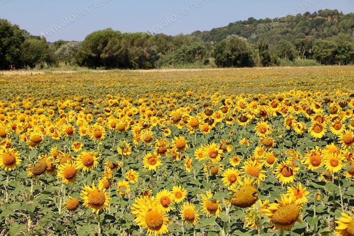 Sunflower moments